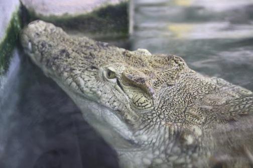 """Résultat de recherche d'images pour """"Un crocodile eleanore"""""""